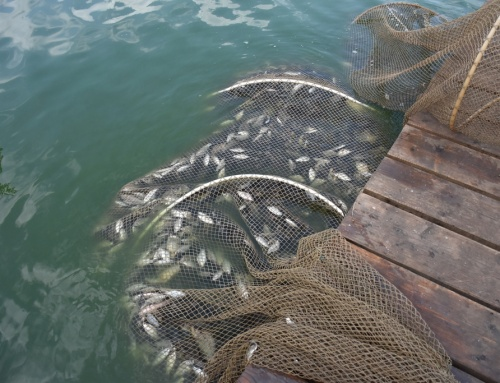 Ezüstkárászok kihalászása a Palicsi-tóból