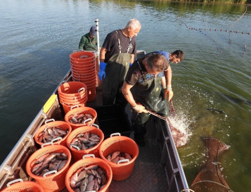 Selective catch of invasive fish in Palic Lake